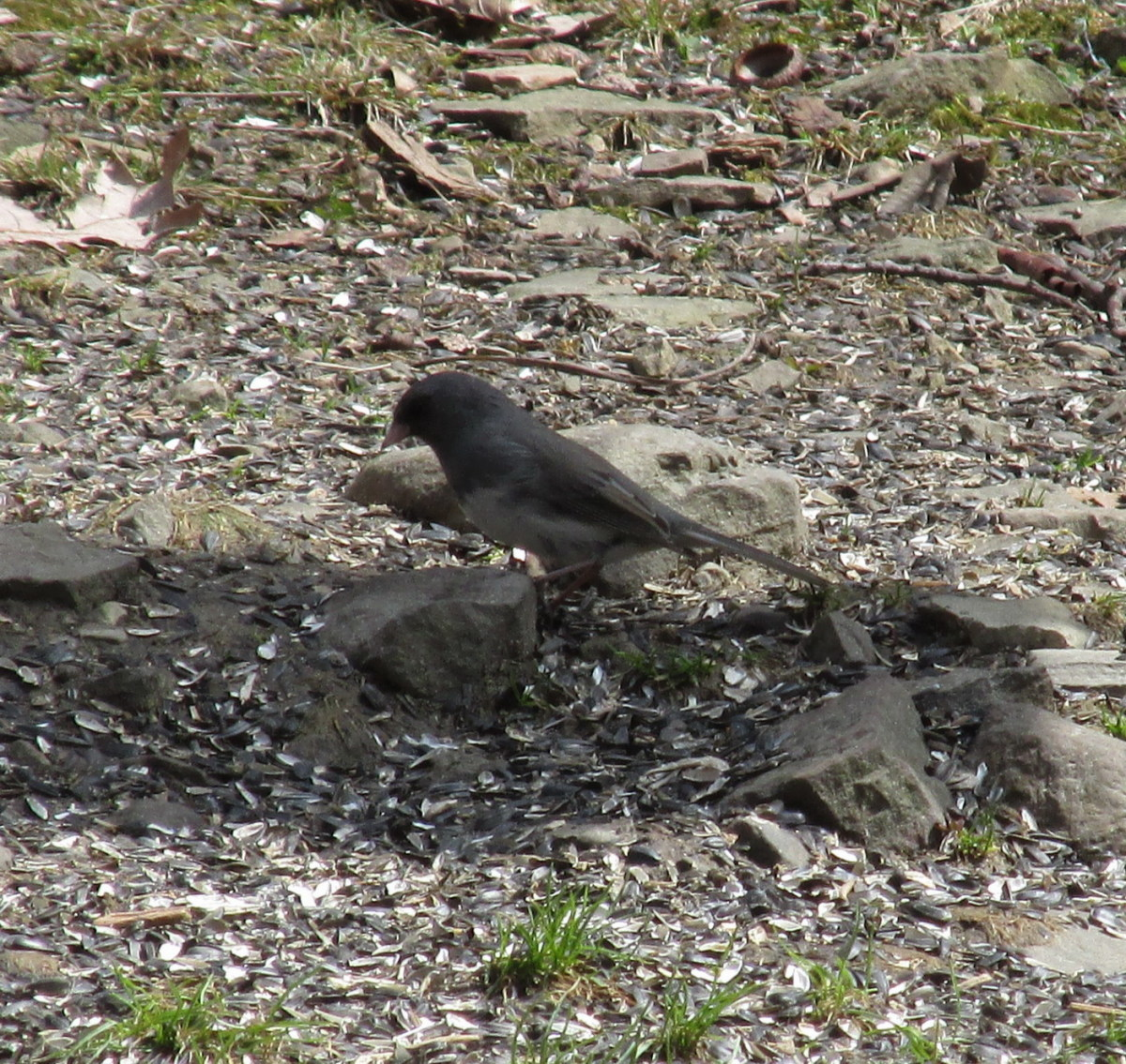 Male Slate-Colored Junco foraging under bird feeders.