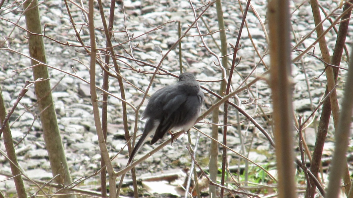 Junco fluffed up against the cold.  Fluffing their feathers creates air pockets that help to insulate their bodies from the cold.