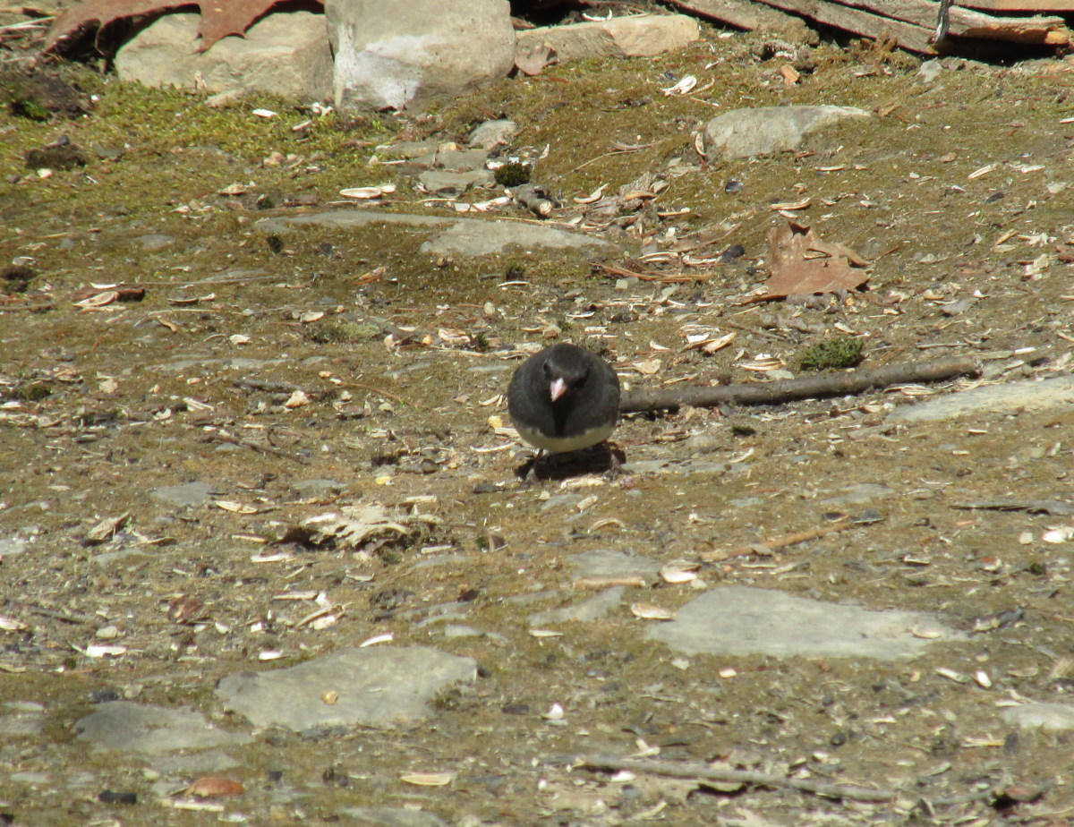 Slate-Colored Junco looking for bugs or seeds.