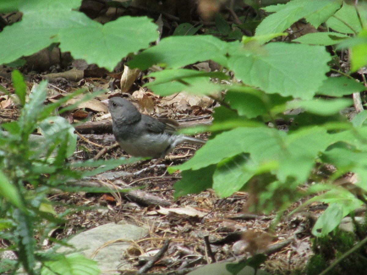 Female Slate-Colored Junco foraging in the woodland underbrush.