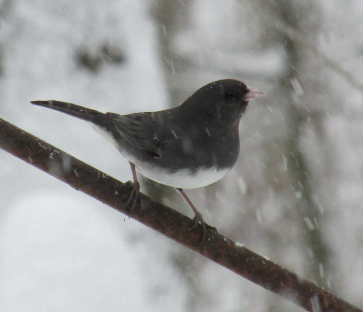 Here in Upstate New York, my juncos ( Junco hyemalis) stay year round.  This hardy little guy doesn't seem to mind the cold!
