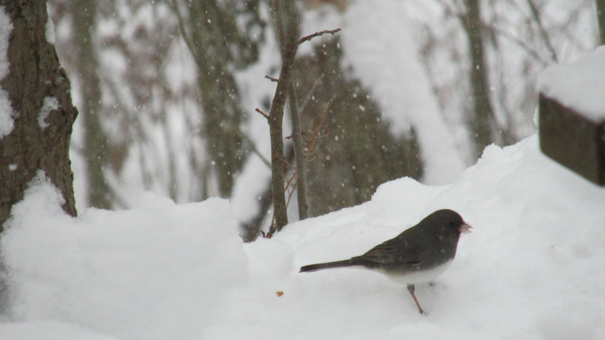 Junco foraging in the snow.  They are hardy little souls for sure!