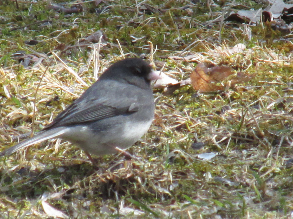 Juncos use their feet  to overturn dead grass as they look for bugs and seeds.
