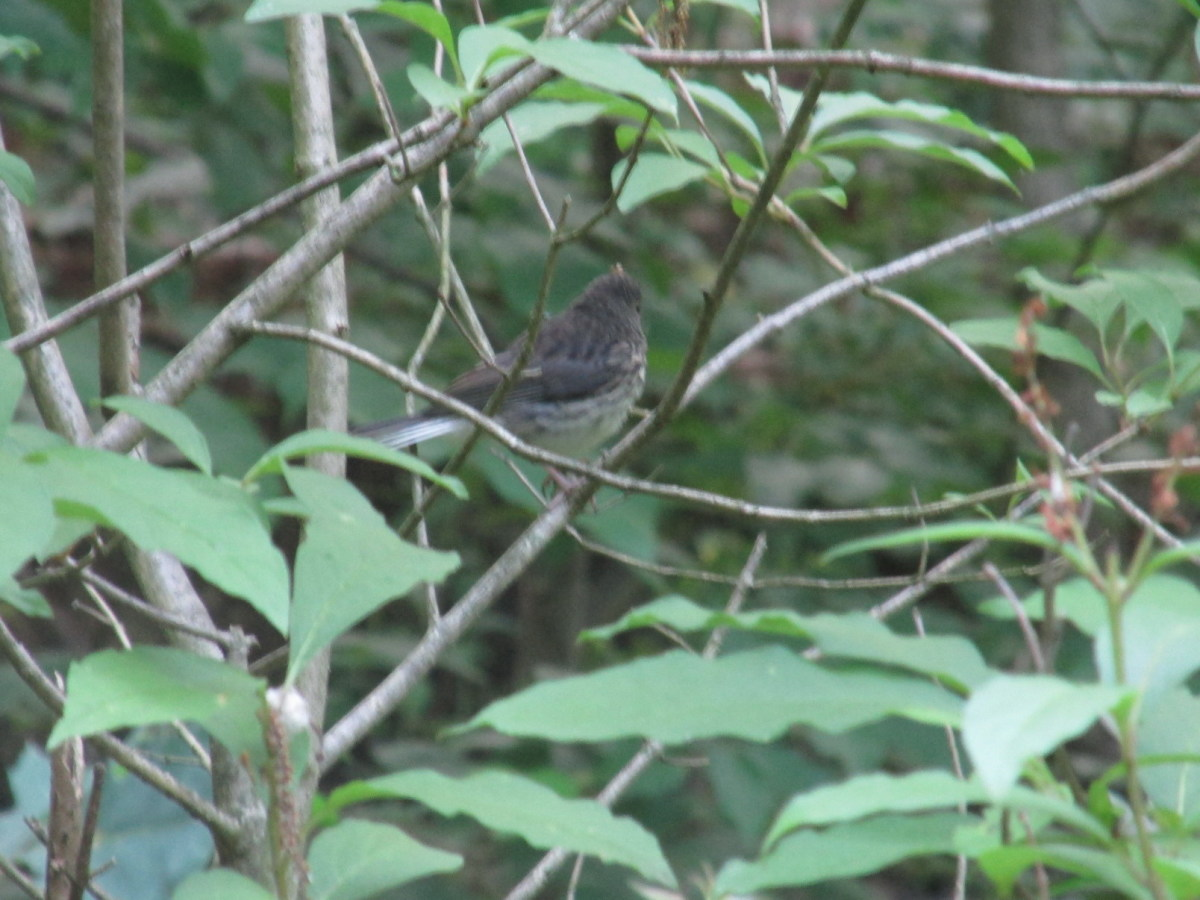 Juvenile Slate-Colored Junco perching.  Note the streaks on the chest.  They will eventually fade.