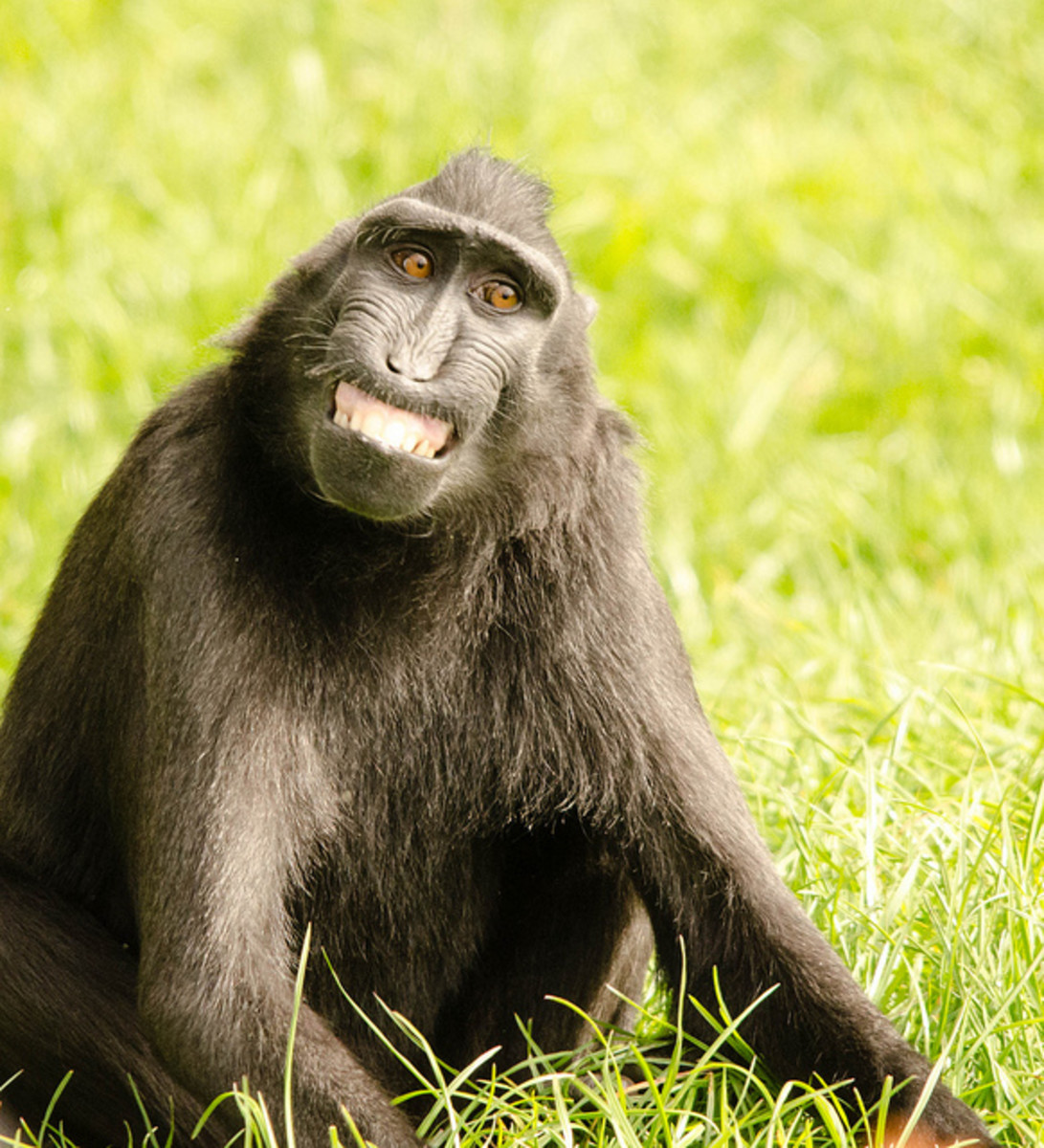 "Some animals, such as chimps, ""smile"" when they are afraid or excited. (A macaque  is pictured)"