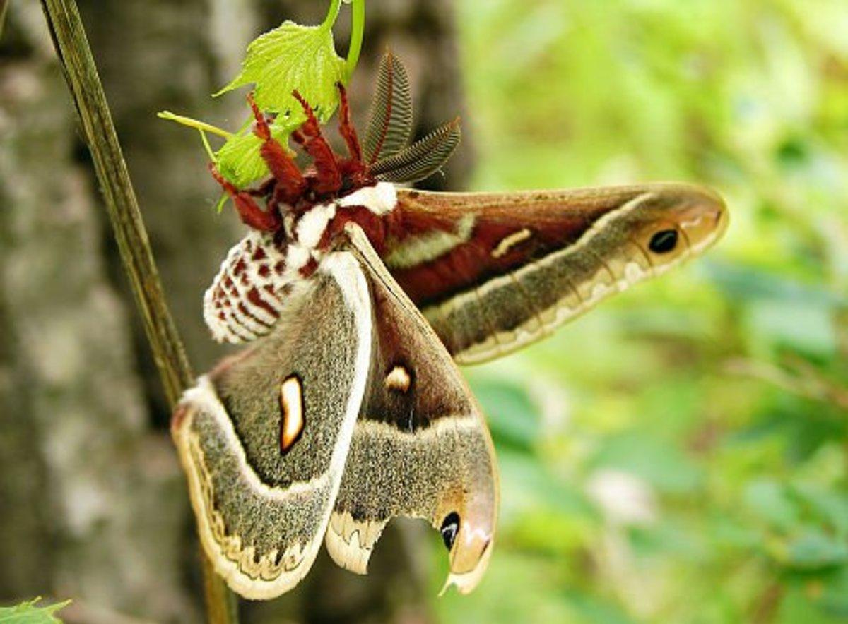A gorgeous giant silk moth.