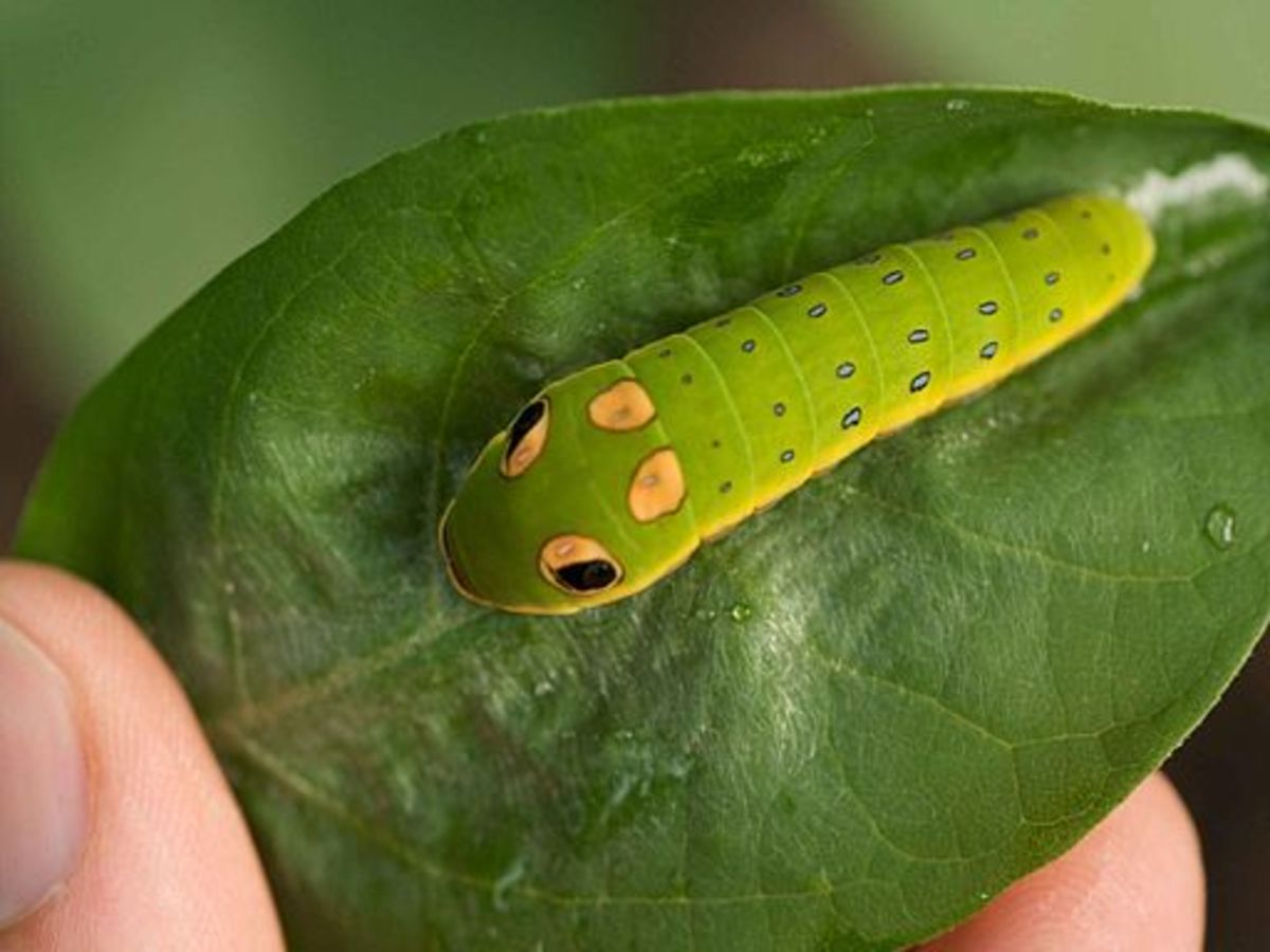 This is the caterpillar of the spicebush swallowtail butterfly.