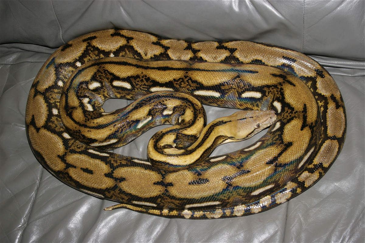 A tiger reticulated python