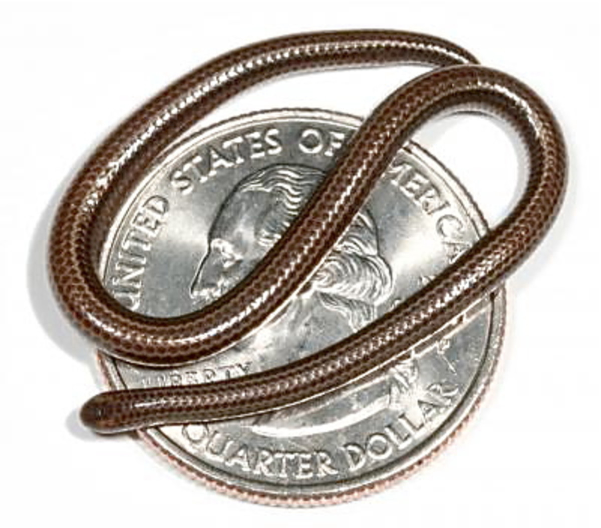 The Barbados threadsnake on a U.S. quarter