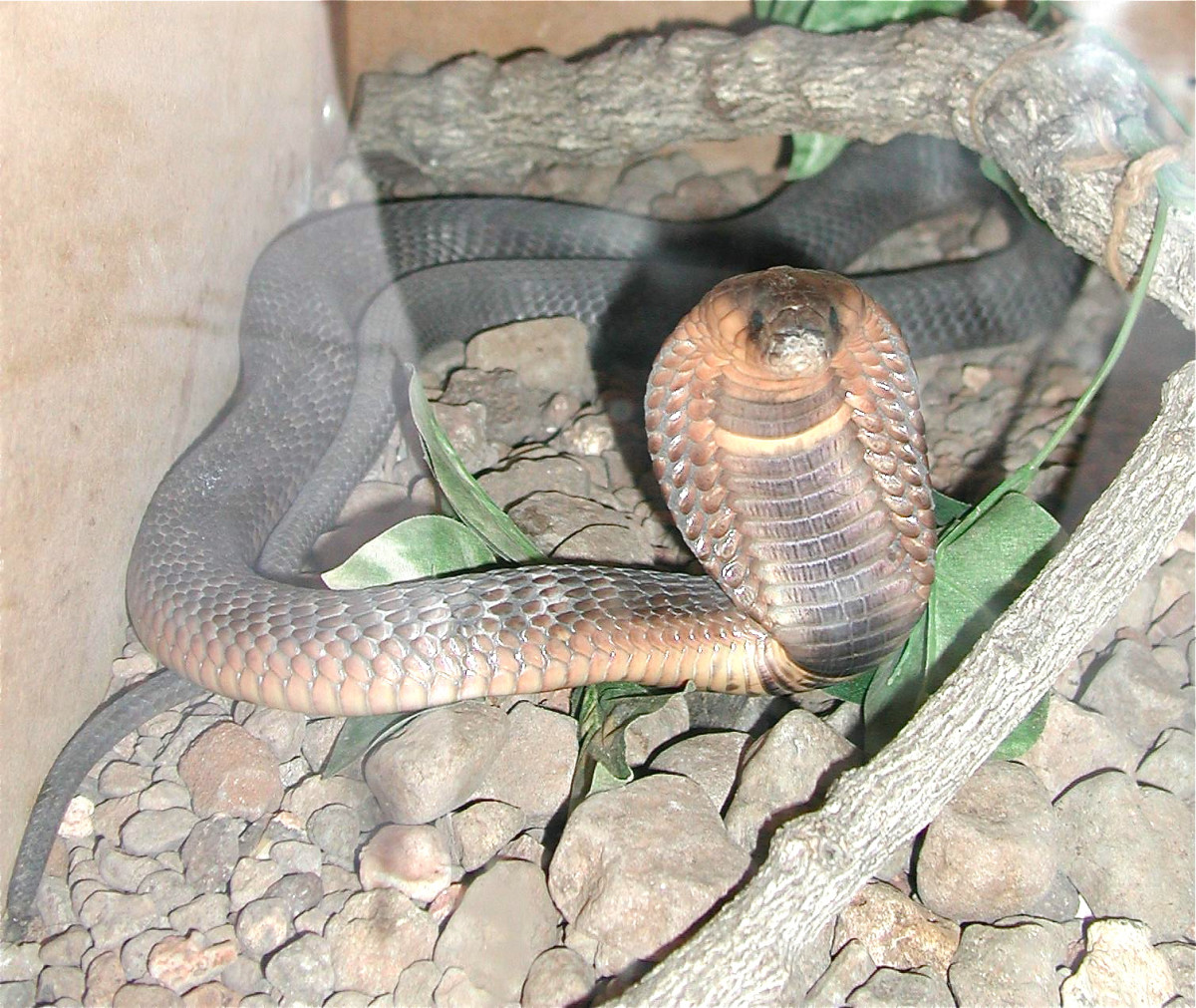 An Egyptian cobra with its hood expanded