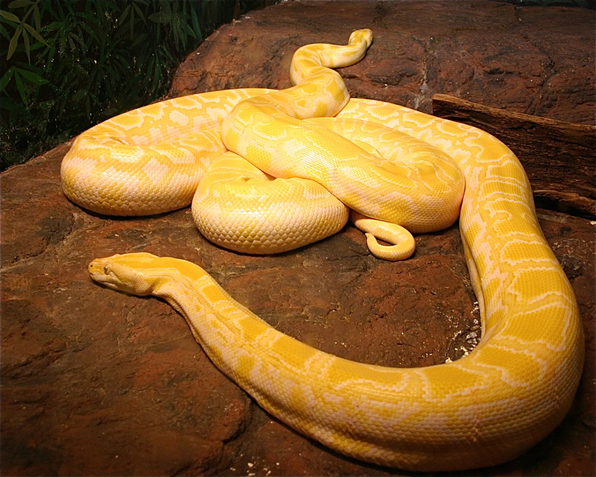 Two amelanistic Burmese pythons (Python bivittatus)