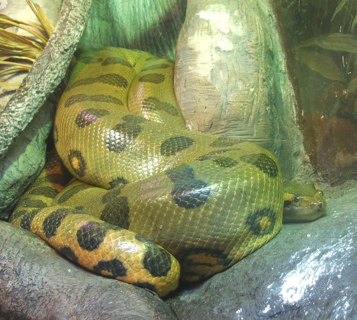 A green anaconda in an aquarium