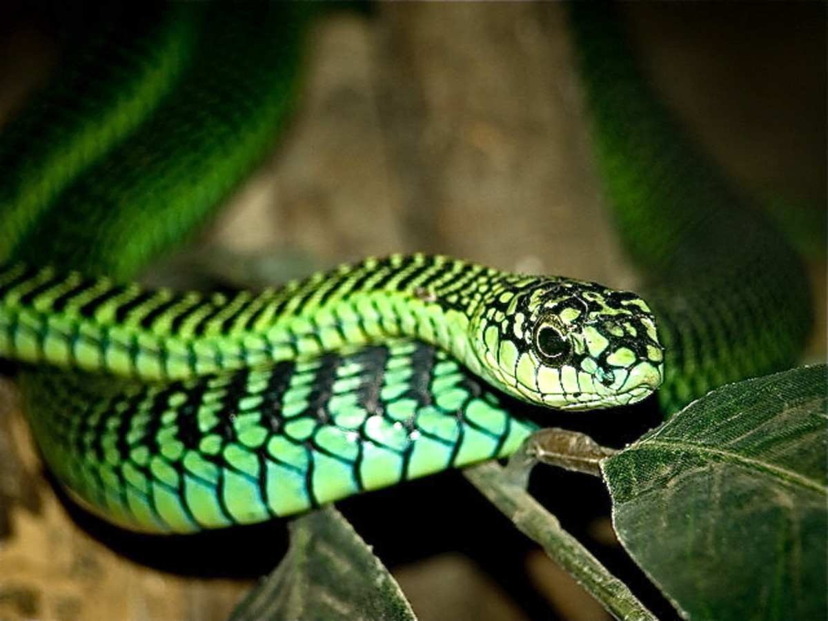 A boomslang snake