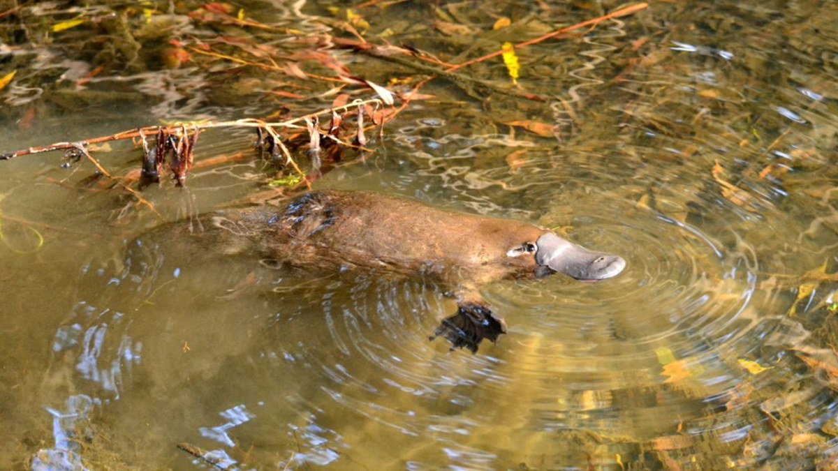 Wild platypus in a creek in Tasmania