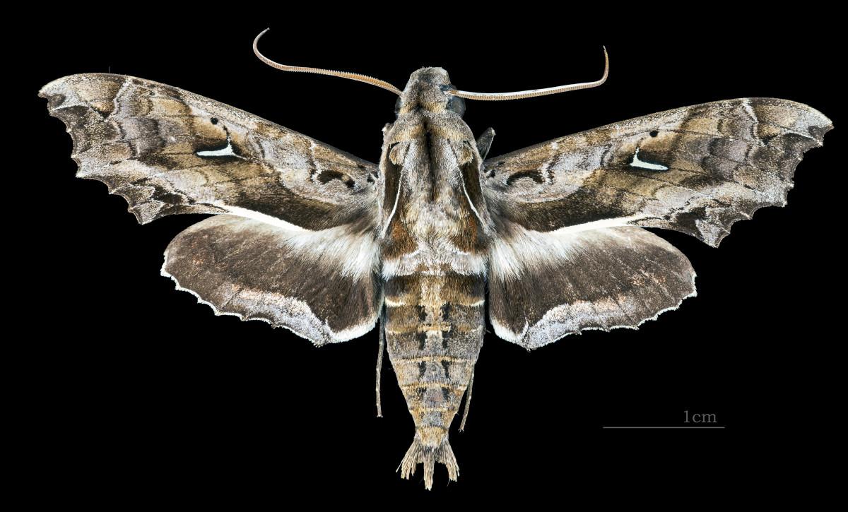 https://en.wikipedia.org/wiki/Hemeroplanes_triptolemus#/media/File:Hemeroplanes_triptolemus_MHNT_CUT_2010_0_162_Nuevo_Xc%C3%A1n_Quintana_Roo_Mexico_male_dorsal.jpg