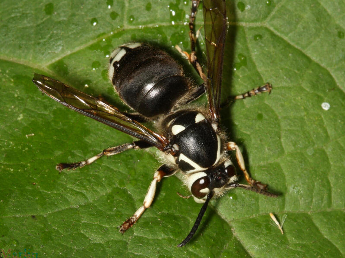 http://nfpestcontrol.blogspot.com/2011/07/yellow-jackets-and-bald-faced-hornets.html