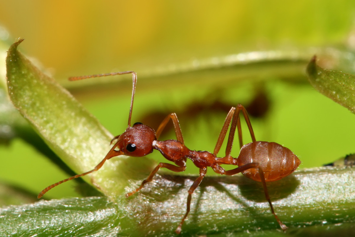 https://en.wikipedia.org/wiki/Weaver_ant#/media/File:Red_Weaver_Ant,_Oecophylla_longinoda.jpg