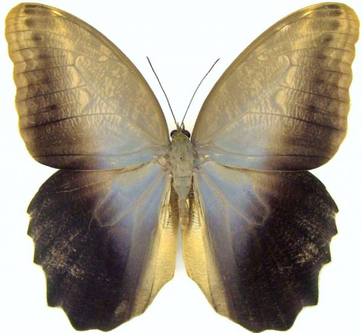 http://www.butterfliesandthings.com/product/Caligo-brasiliensis-Colombia-11