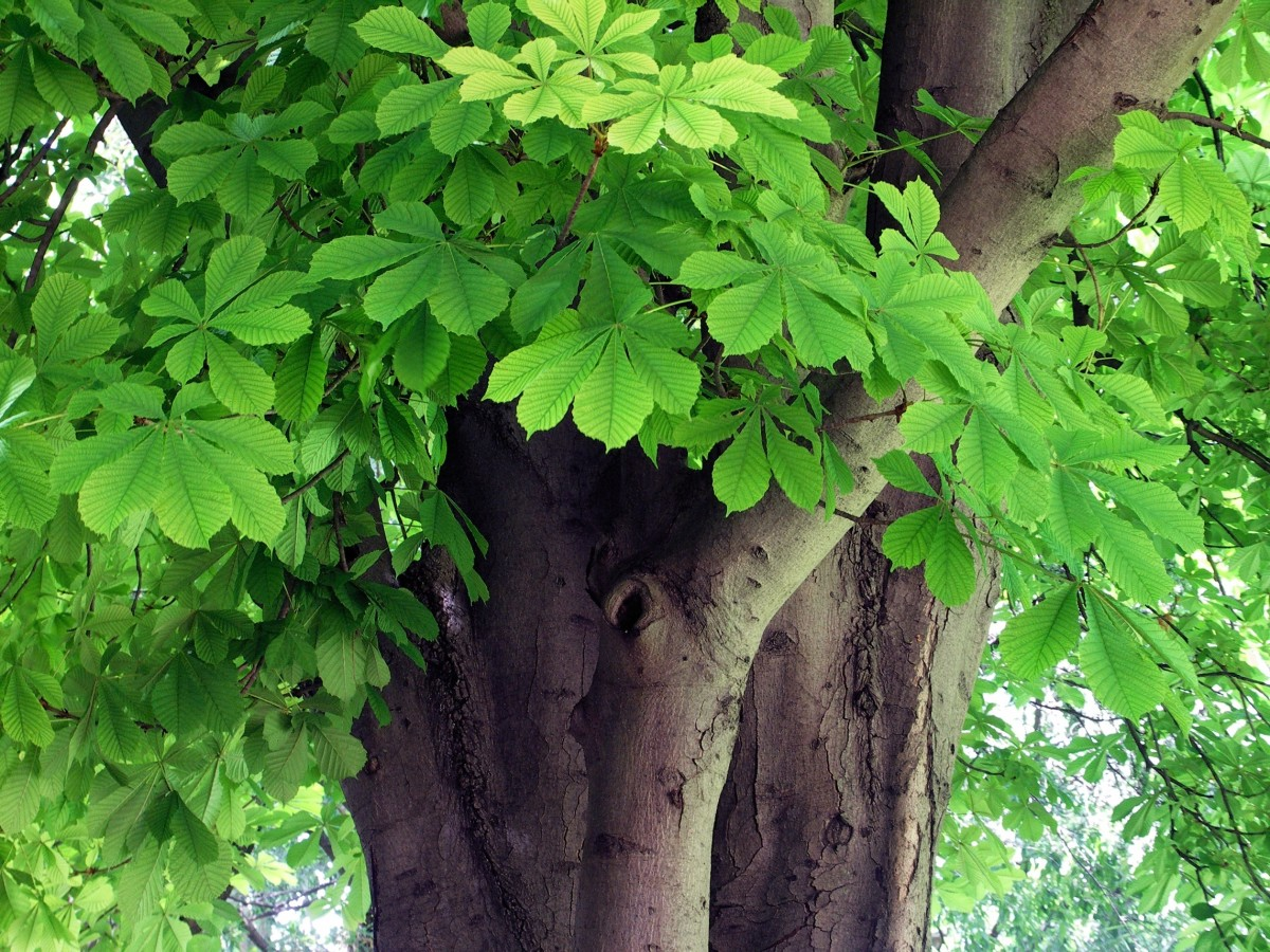 Horse chestnut leaves and bark