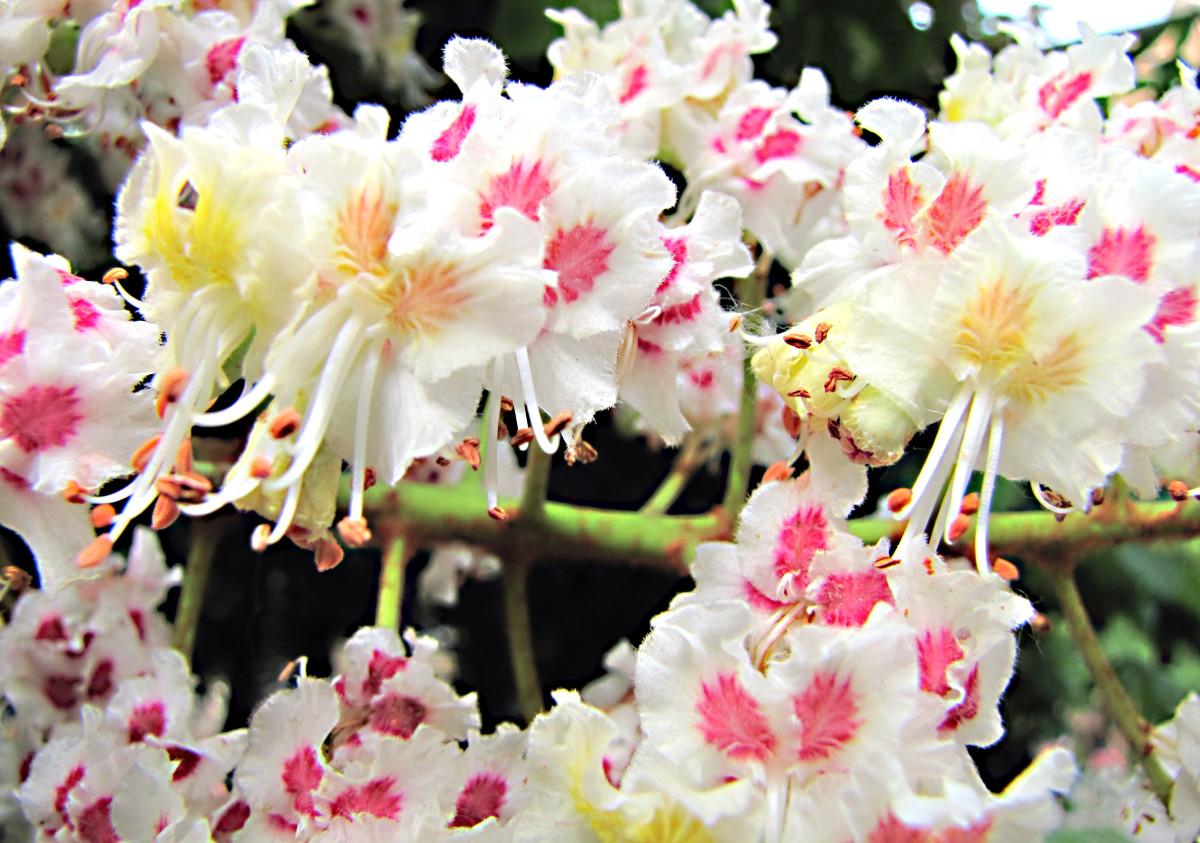 A horizontal view of a horse chestnut flower spike; the spikes are arranged vertically on the tree and look like candles