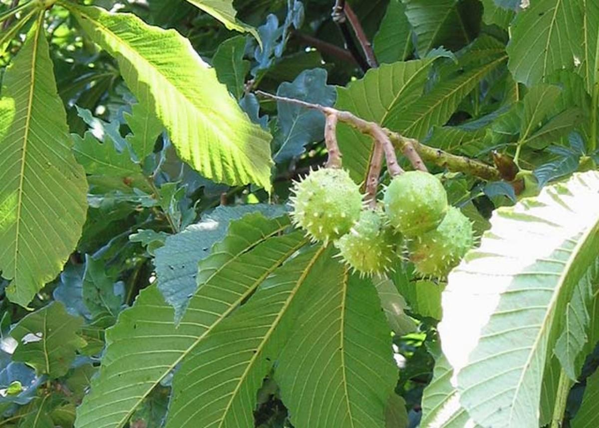 Green horse chestnut fruits