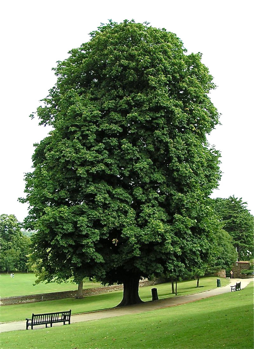 A horse chestnut tree in a park in Essex, England