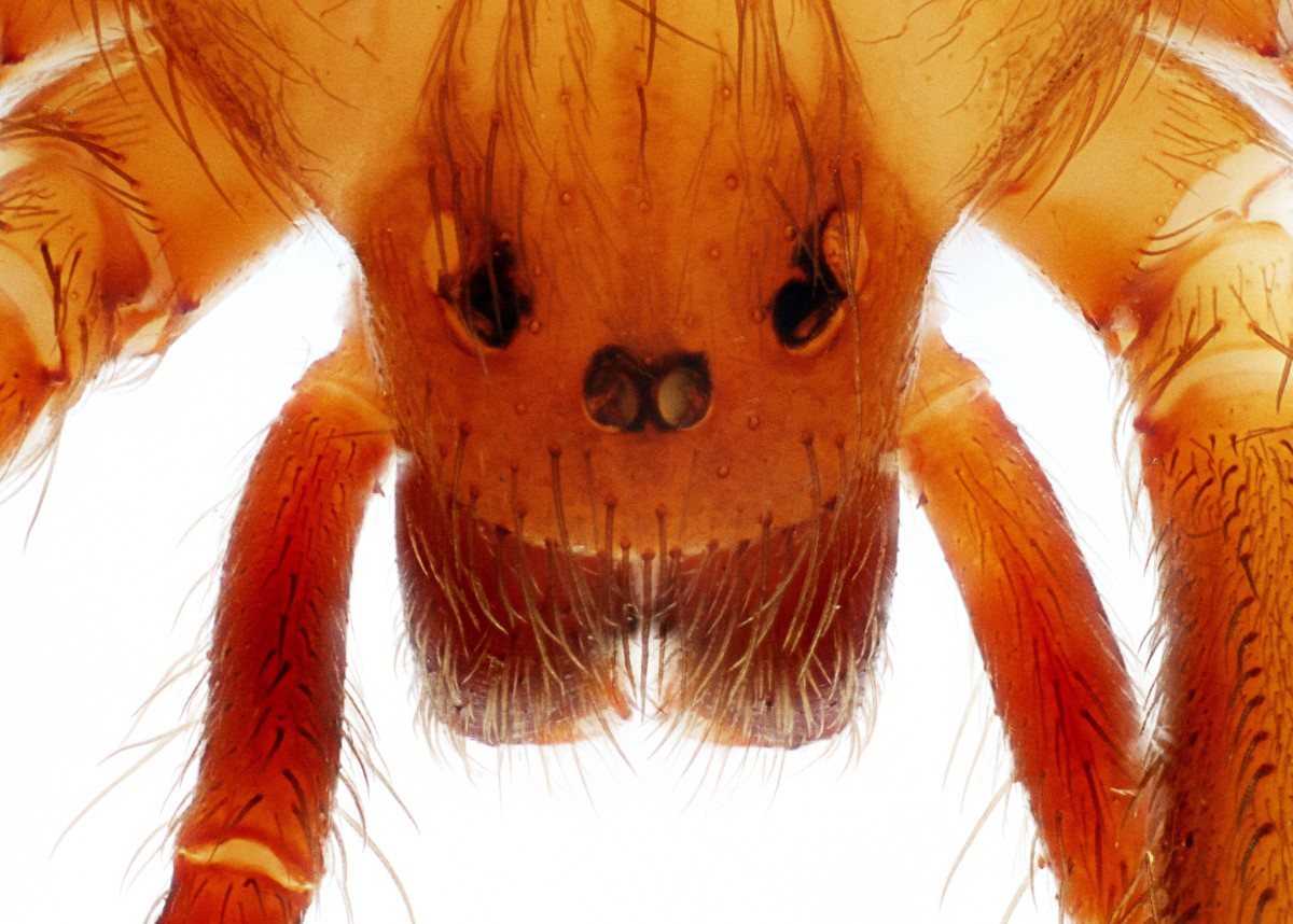 The eyes of a brown recluse spider