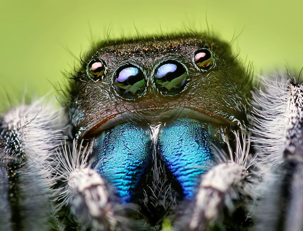 A male jumping spider (Phidippus audax); jumping spiders have good vision and jumping ability