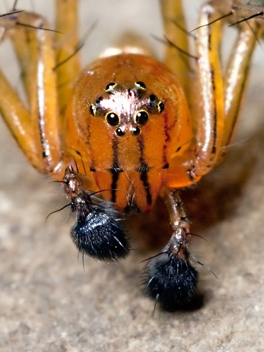 A photo of a male striped lynx spider that shows the enlarged pedipalps at the front of the spider