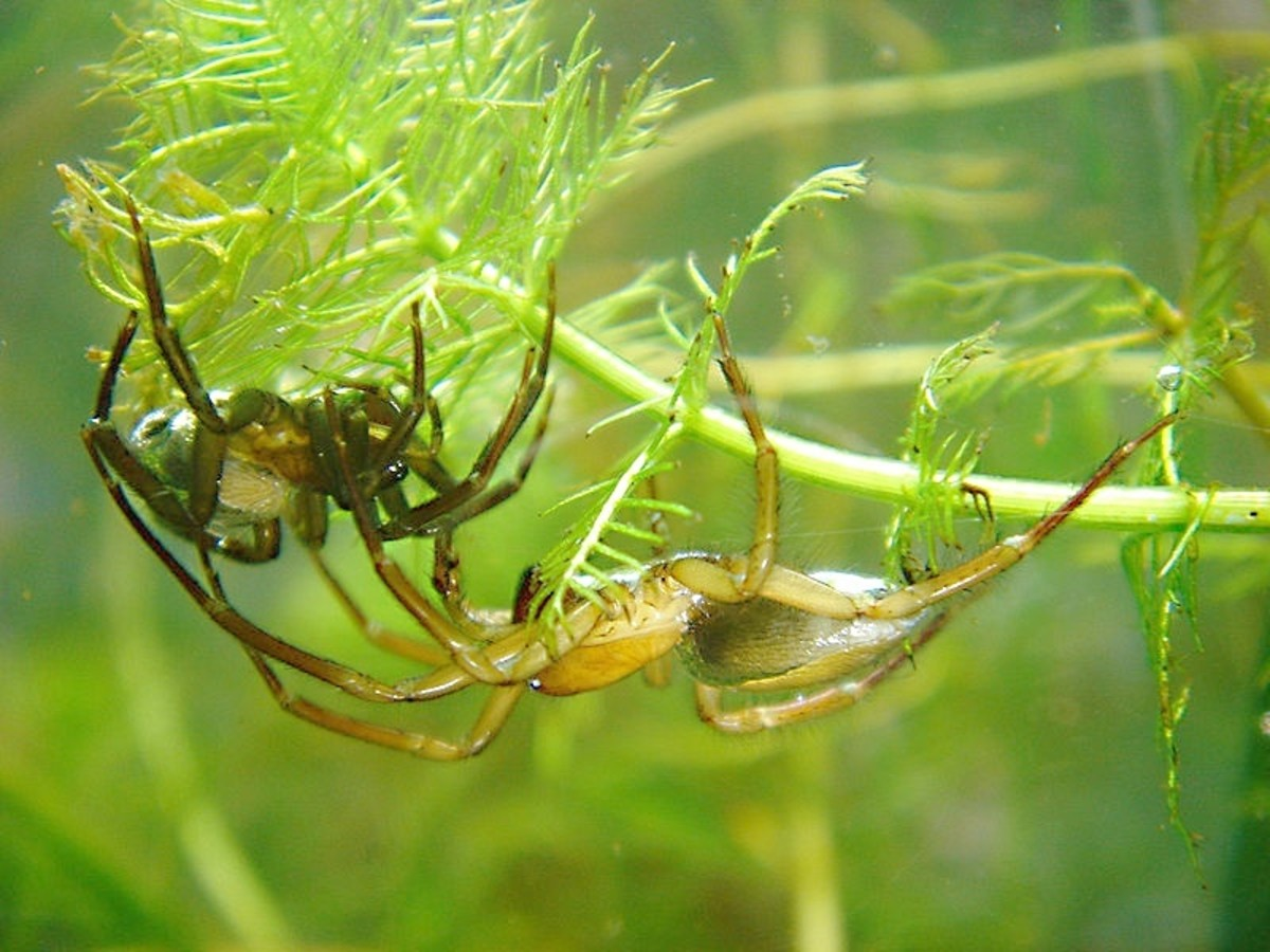 Diving bell spiders live underwater; the female is on the left and the male is on the right