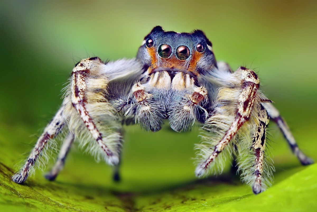 A male Phidippus putnami, which is a type of jumping spider; jumping spiders leap on to their prey and are excellent hunters