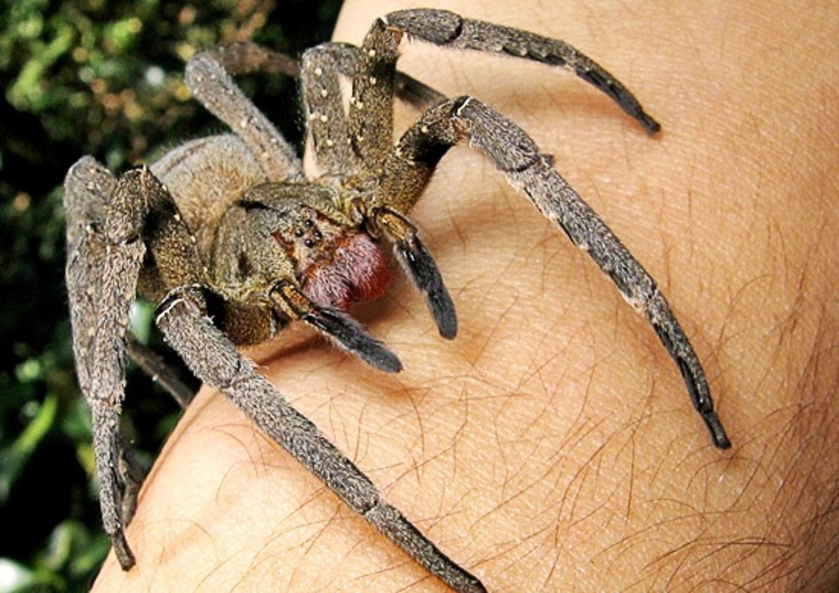 A Brazilian wandering spider; please note that it's not safe to have this animal on the skin!