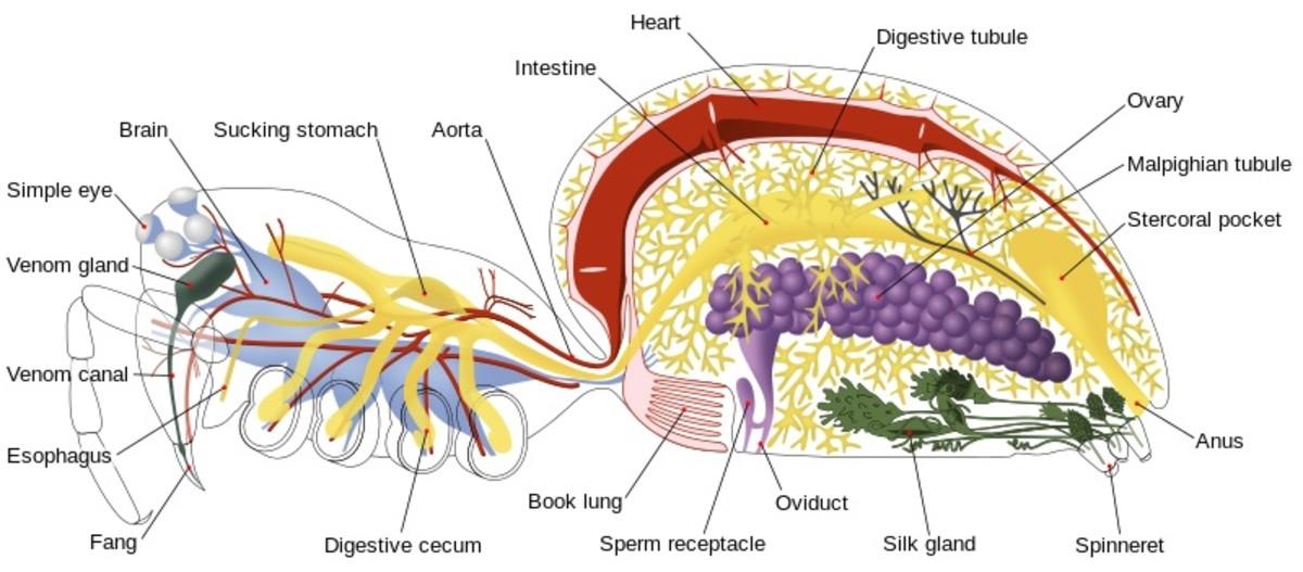 Internal anatomy of a spider