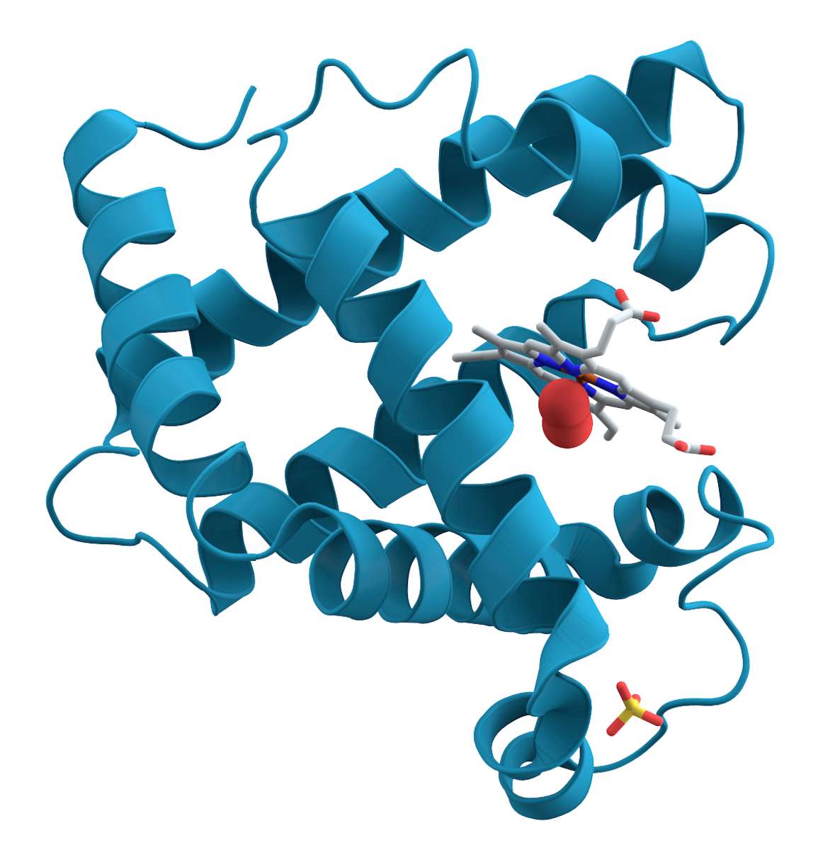An illustration showing myoglobin (a muscle protein) and the complex, folded structure of a functional protein; the folds are held in place by chemical bonds