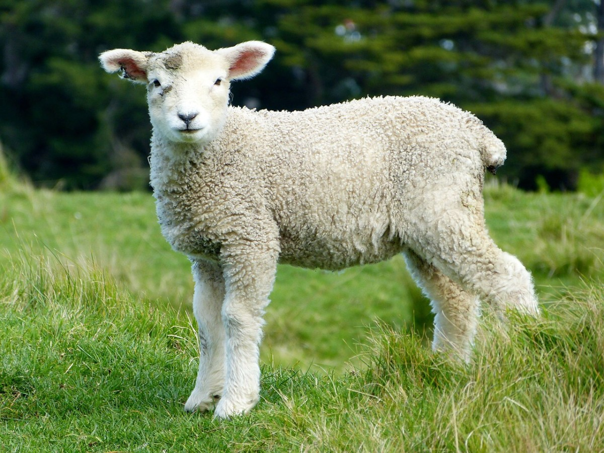 Scrapie in sheep was the first prion disease to be discovered.