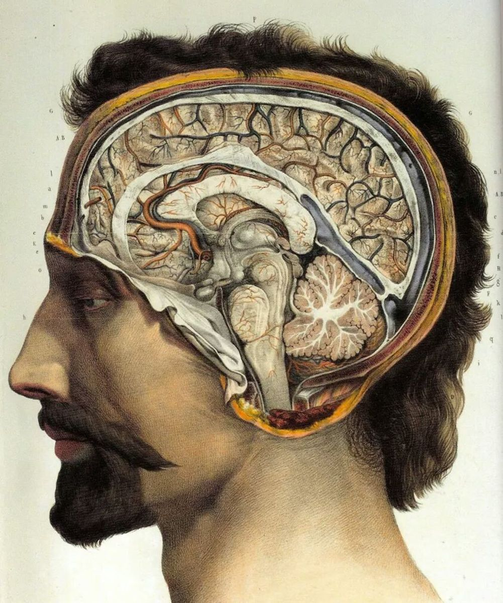Harmful prions seem to affect the brain most strongly.