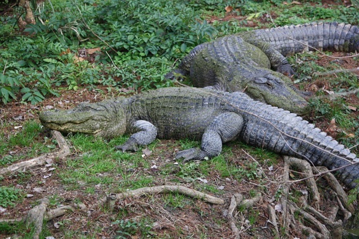 American Alligators are found in the southeastern areas of the USA.  They like hot and humid weather and are well-suited to swampy terrain.  Although timid by nature, they can pack a powerful bite if surprised, confused, or threatened.
