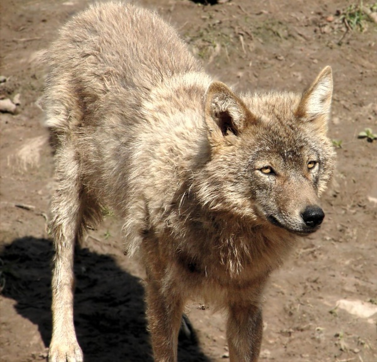 Wolves are far less common than they used to be, and attacks on humans are extremely rare.