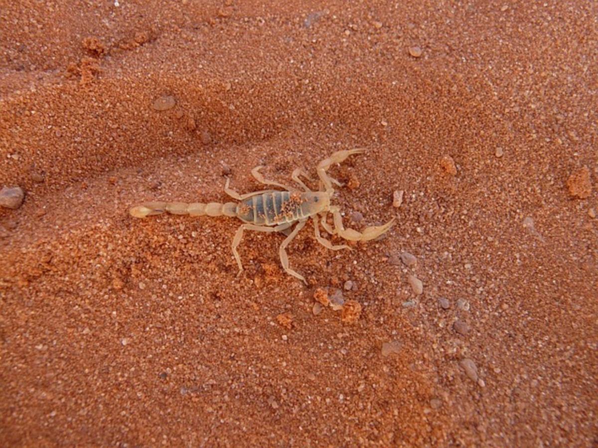 There are around 90 different species in the country, the most dangerous of which is the bark scorpion, which is most commonly found in the Arizona area.