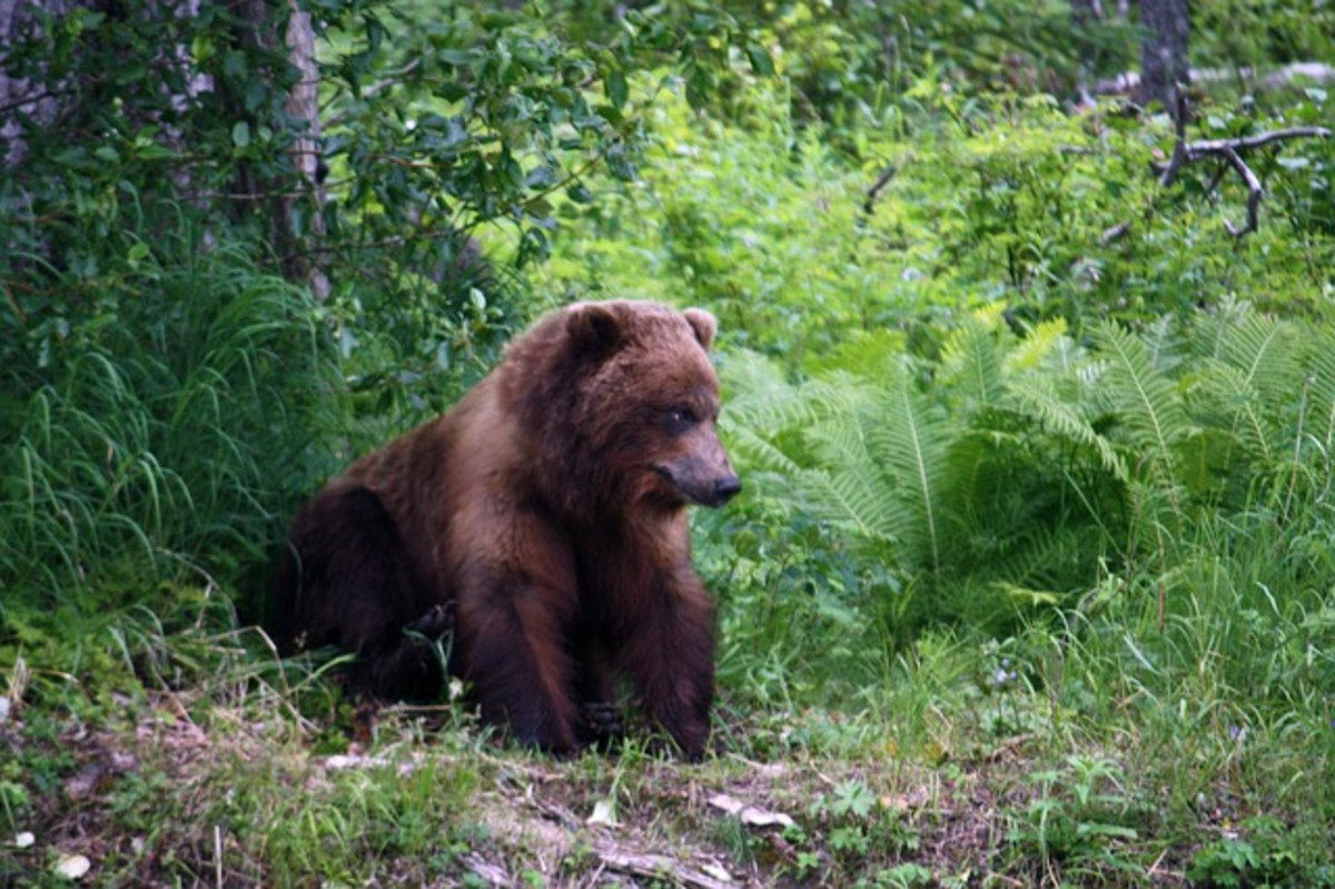 Once common, grizzly bears have dwindled in numbers.  Black bears are the most commonly encountered. They are less aggressive than grizzlies but can be fierce if provoked.
