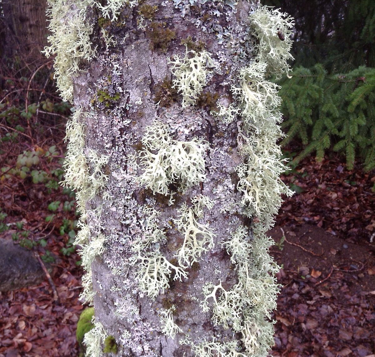 An interesting tree trunk covered with fruticose and foliose lichens as well as moss