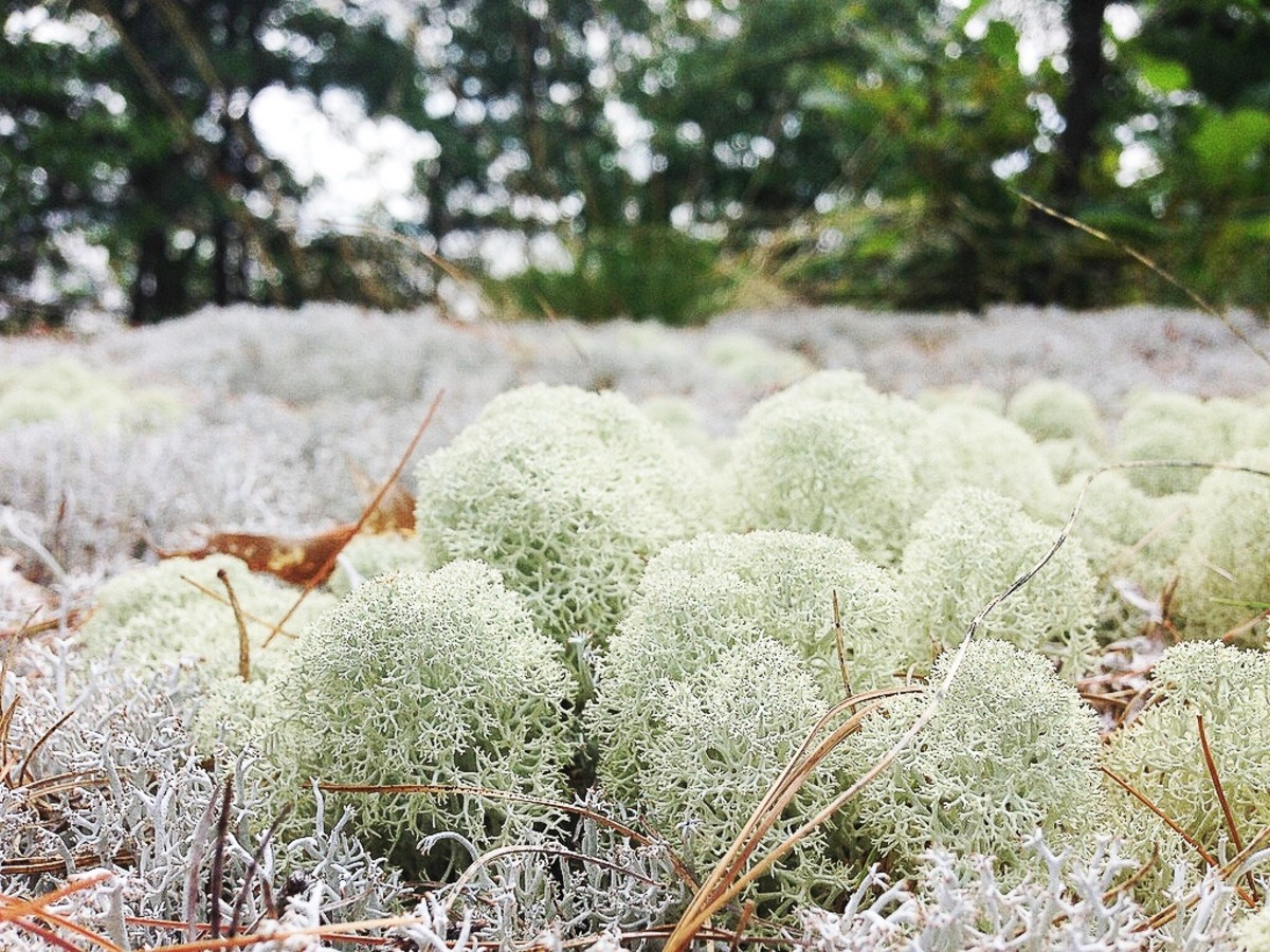 Reindeer moss grows on the ground. It forms patches that often resemble foam or a sponge when viewed from a distance.