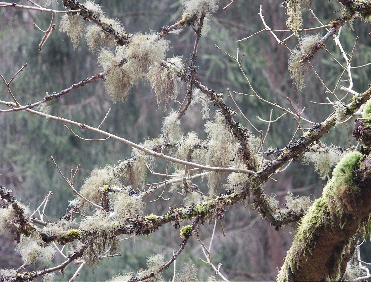 Usnea often hangs from branches and is sometimes known as old man's beard. This is Usnea filipendula.