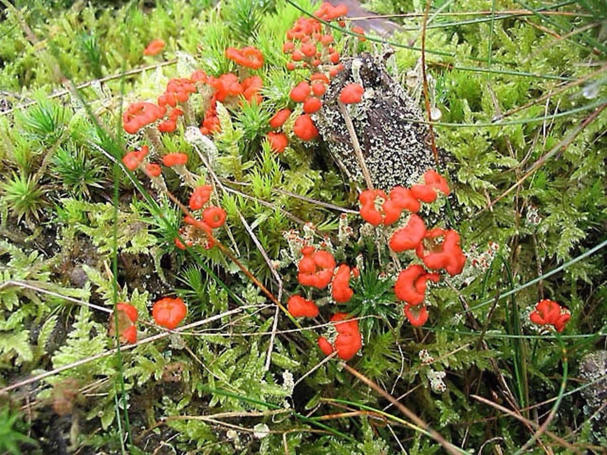 The red reproductive structures of the British soldiers lichen, or Cladonia cristatella; the lichen is growing in the company of mosses