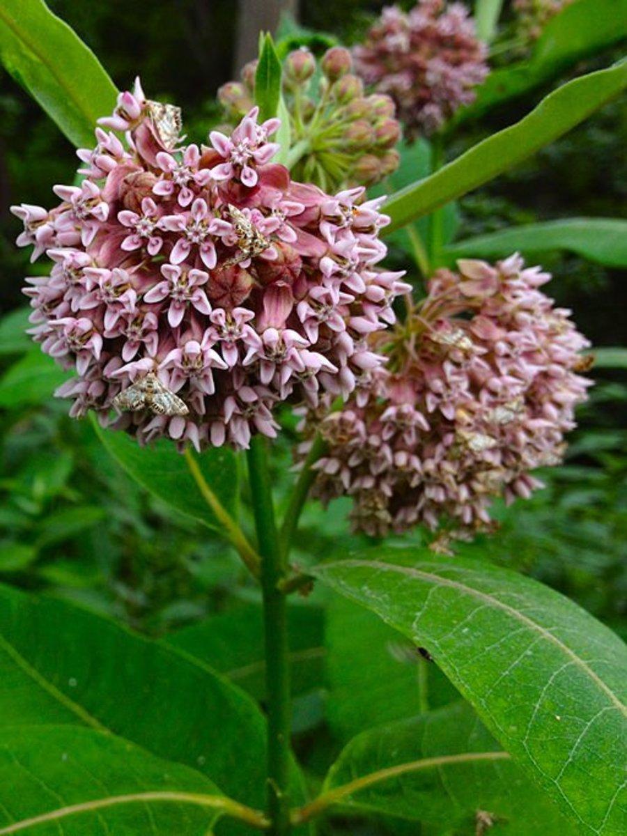 save-monarch-butterflies-plant-milkweed
