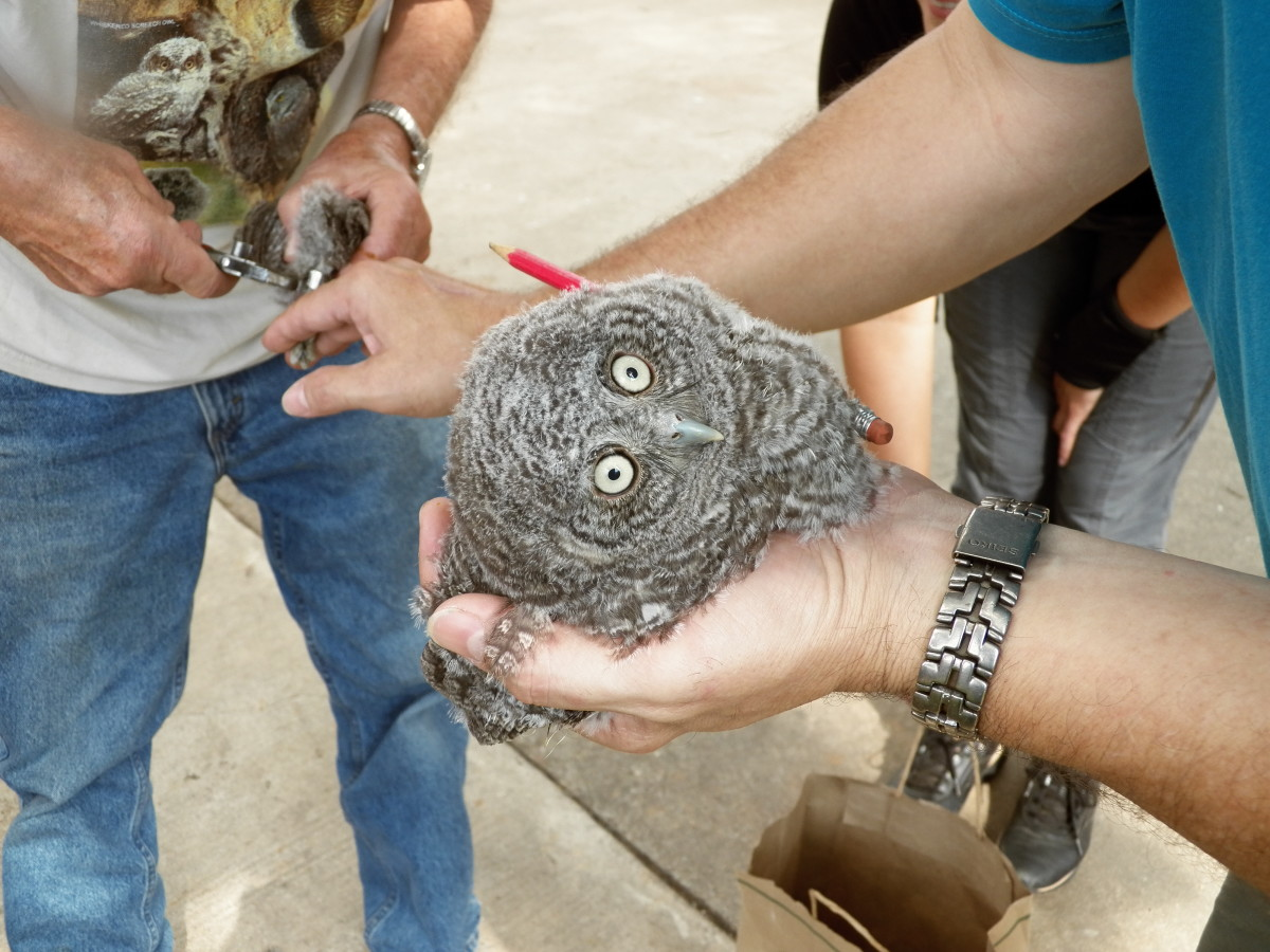 Owl banding.  How do scientists use information gathered from banding birds?
