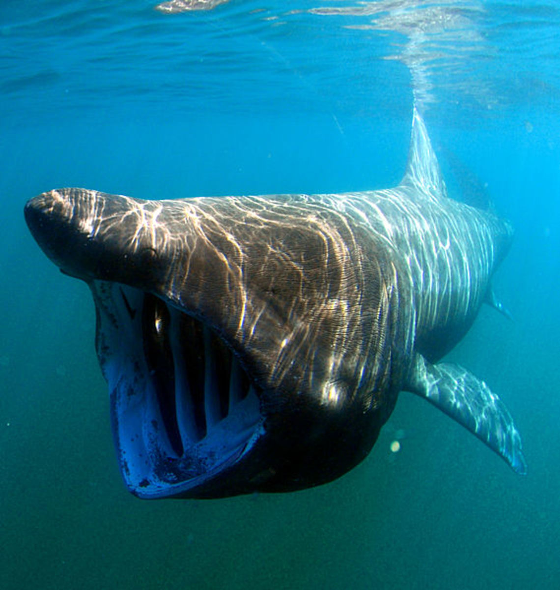 The basking shark is a massive creature, and subject to attack by lampreys