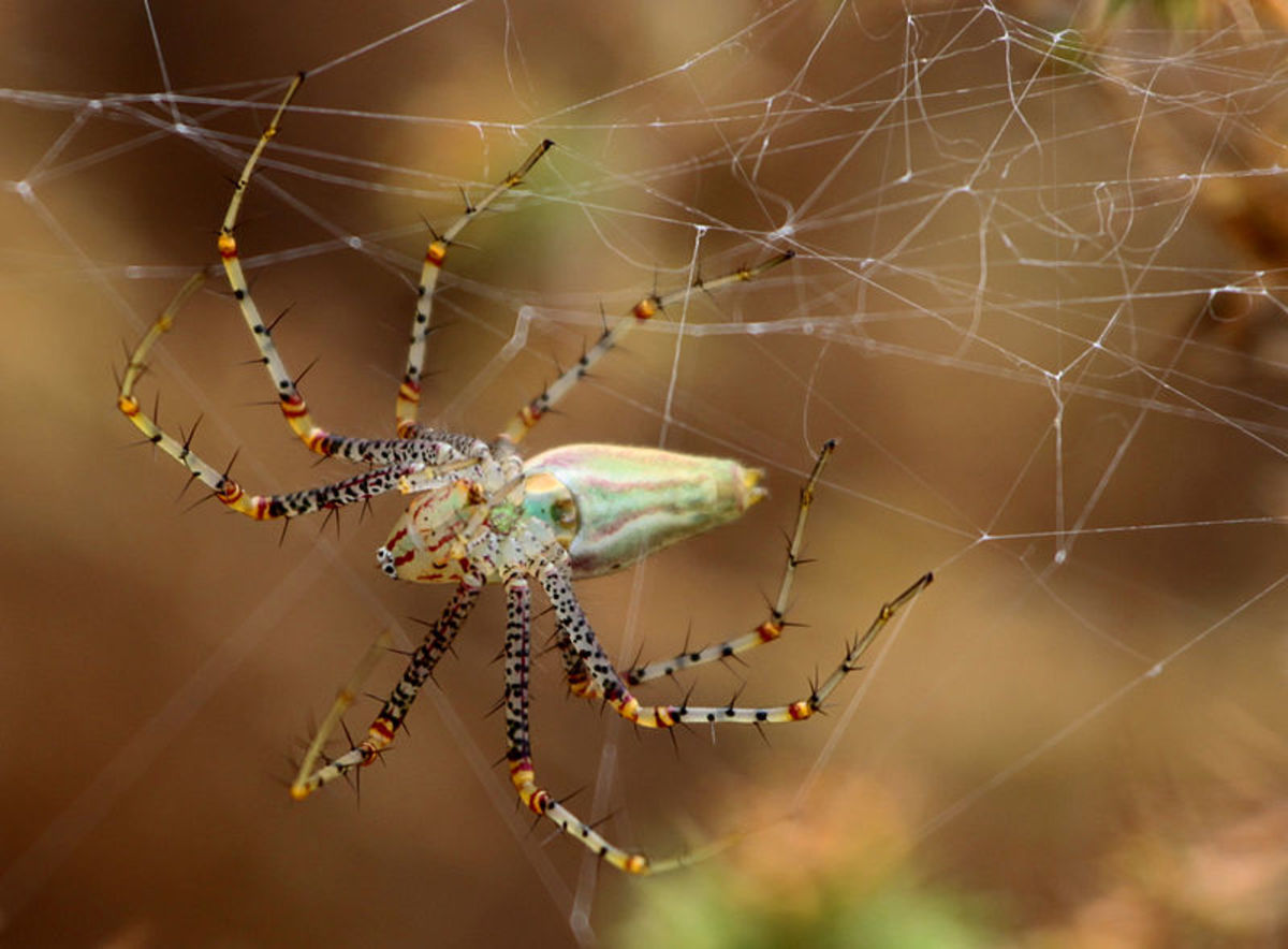The Lynx Spider chases its prey as most non-web weavers do. This spider is not actually weaving a web, but making a larder in which to keep its food store.