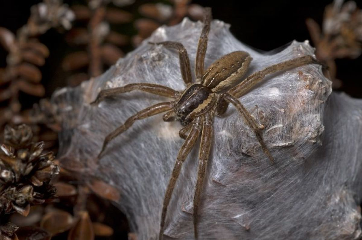 The Nursery Spider spins a complex web to protect her newly hatched young.