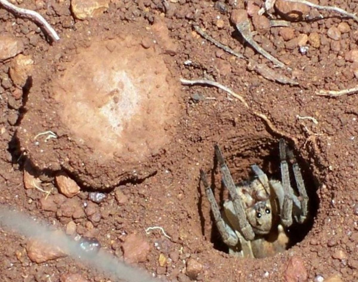 The trapdoor spider in its burrow. The trapdoor itself, made of mud and grass, is open and you can see it on the left of the picture.